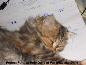 Perfect Pursian Helo Dolly of Paz4Play aka Dolly