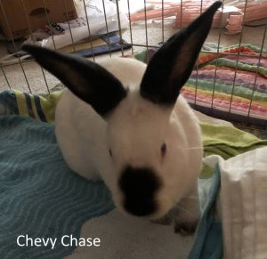 Chevy Chase the Rabbit